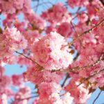 花見には厄払いの意味がある!縁起物の桜とは?